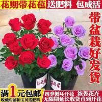 玫瑰花苗带花苞花卉观花绿植物室内阳台盆栽大花月季蔷薇四季开花