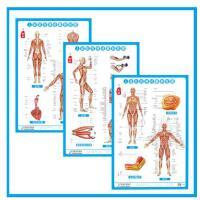 人体肌肉神经解剖挂图 中西医养生保健图 3张/套正侧背面