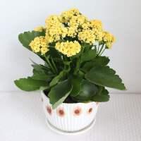 阳台鲜花花卉植物室内长寿花盆栽重瓣花好养易活四季开花净化空气