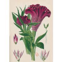 【预订】Carnet Blanc, Celosia Cristata, Dessin 19e Si?cle