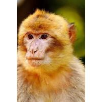 预订 Barbary Ape Endangered Species Notebook [ISBN:9781548839