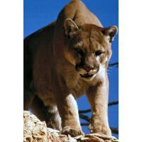 预订 Puma Journal: 150 page lined notebook/diary [ISBN:978153