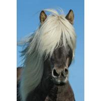 预订 Pony in Iceland Journal: 150 Page Lined Notebook/Diary [
