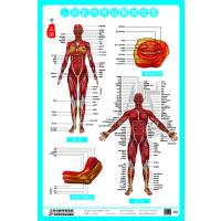 人体肌肉神经解剖挂图