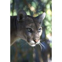 预订 Puma Portrait Journal: 150 page lined notebook/diary [IS