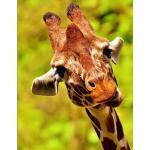 预订 Giraffe Notebook: 150 Large Lined Blank Pages [ISBN:9781